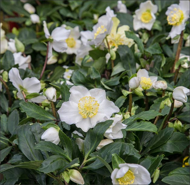 helleborus-winter-wedding-flowers